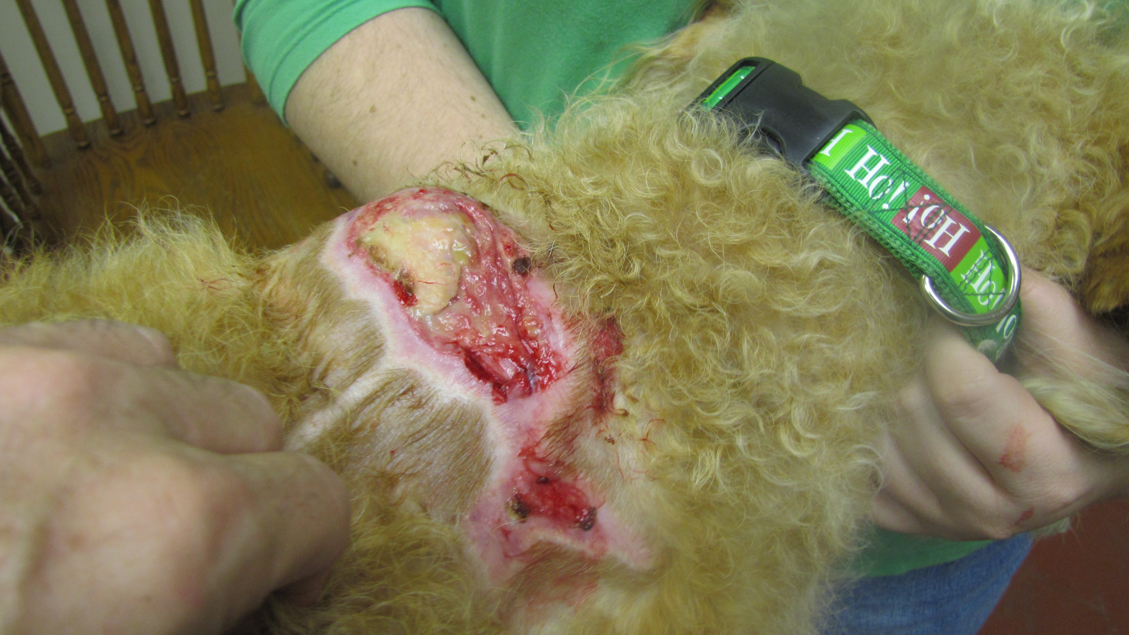 Pyoderma In Dogs And Cats